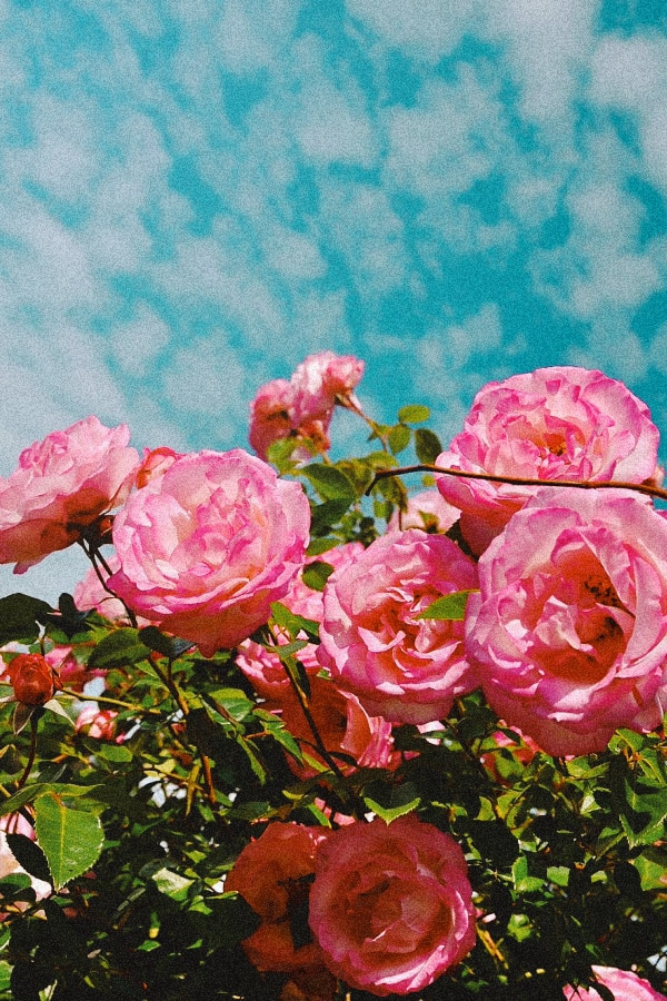 vintage wallpaper, flower aesthetic, flower wallpaper, pink flower aesthetic, white flower aesthetic, floral wallpaper iPhone, flower wallpaper iPhone, floral background