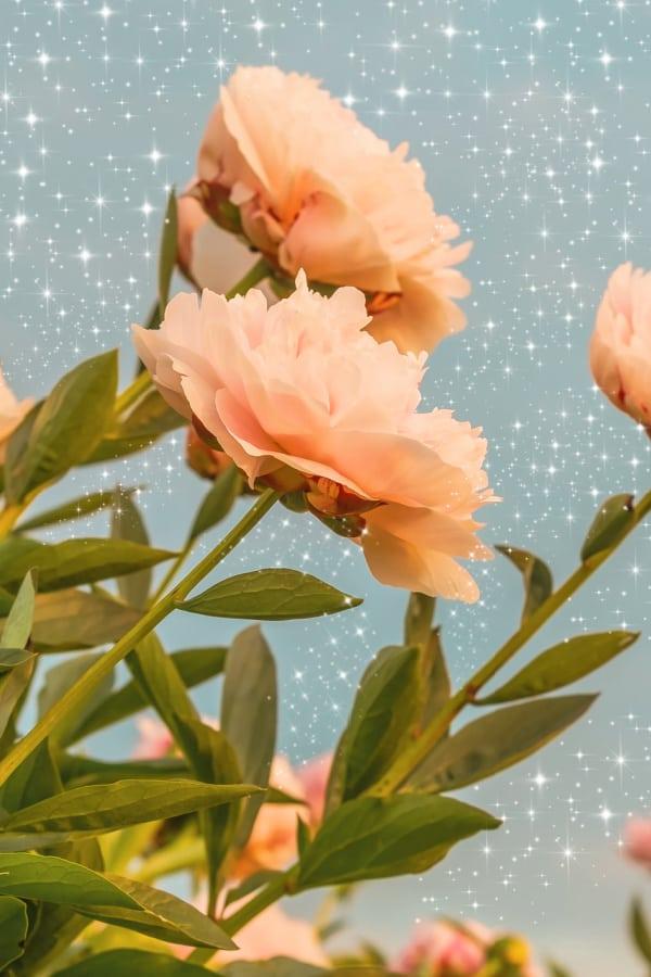 peach flowers, flower aesthetic, flower wallpaper, pink flower aesthetic, white flower aesthetic, floral wallpaper iPhone, flower wallpaper iPhone, floral background
