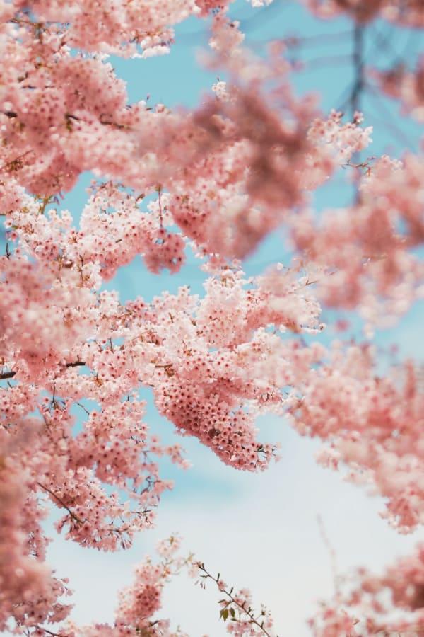 pink magnolias, flower aesthetic, flower wallpaper, pink flower aesthetic, white flower aesthetic, floral wallpaper iPhone, flower wallpaper iPhone, floral background