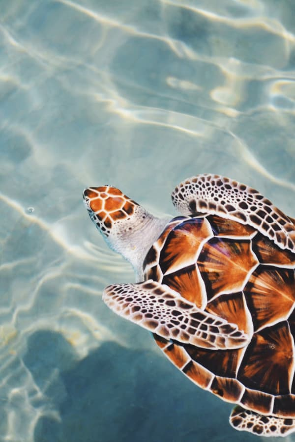 beach aesthetic, beach wallpaper, turtle wallpaper, animal wallpaper