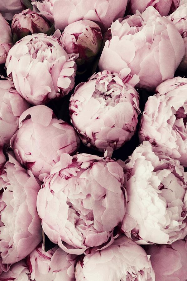 flower aesthetic wallpaper, flower aesthetic, flower wallpaper, pink flower aesthetic, white flower aesthetic, floral wallpaper iPhone, flower wallpaper iPhone, floral background, peonies wallpaper