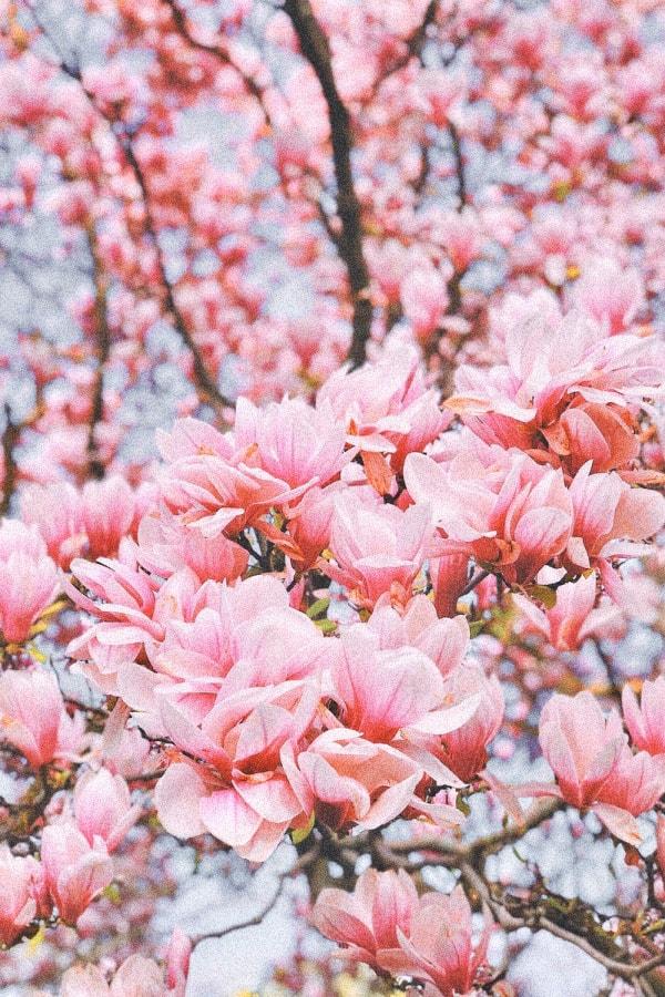 pink wallpaper, pink wallpaper iPhone, pink aesthetic, cute pink wallpaper, pink background, pink background iPhone, pink wallpaper girly, floral wallpaper, pink flowers, vintage flowers
