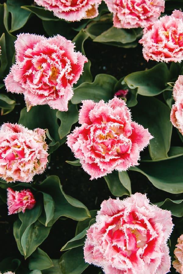 pink wallpaper, pink wallpaper iPhone, pink aesthetic, cute pink wallpaper, pink background, pink background iPhone, pink wallpaper girly, floral wallpaper, pink flower wallpaper