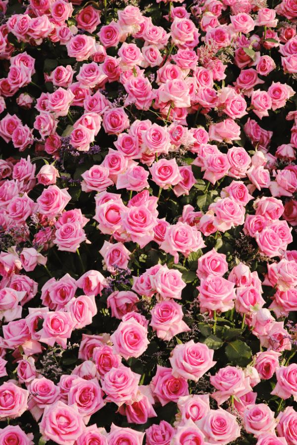 roses, rose wallpaper, rose wallpaper iPhone, rose wallpaper aesthetic, rose wallpaper hd, rose aesthetic, pink roses, pink rose aesthetic