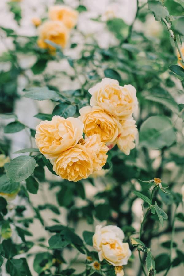 roses, rose wallpaper, rose wallpaper iPhone, rose wallpaper aesthetic, rose wallpaper hd, rose aesthetic, yellow roses, yellow rose aesthetic, yellow wallpaper