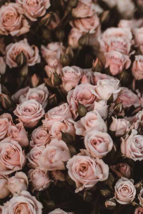 roses, rose wallpaper, rose wallpaper iPhone, rose wallpaper aesthetic, rose wallpaper hd, rose aesthetic, pink rose aesthetic, pink rose