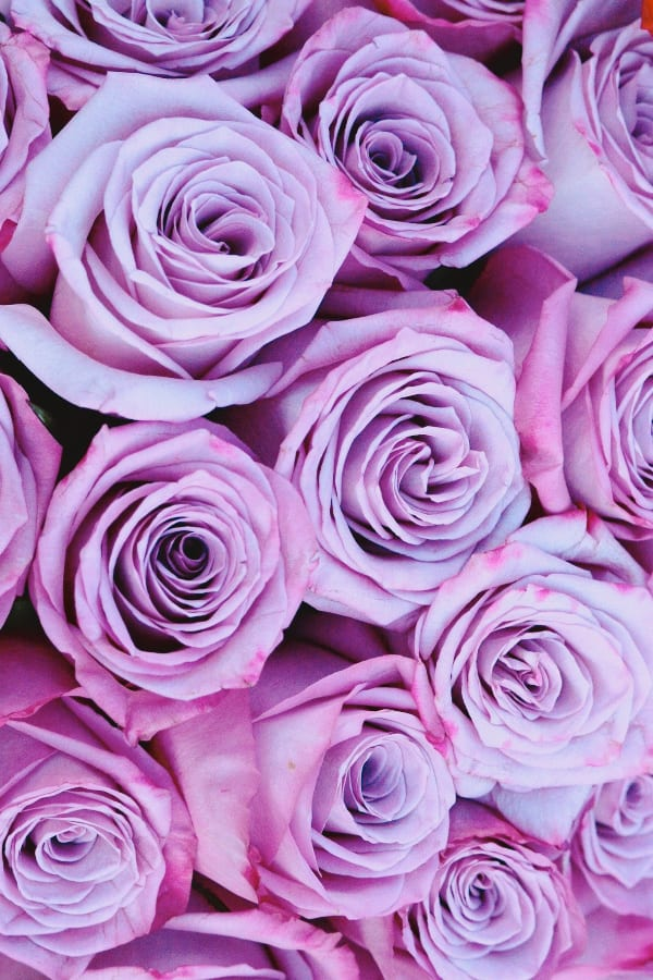 roses, rose wallpaper, rose wallpaper iPhone, rose wallpaper aesthetic, rose wallpaper hd, rose aesthetic, purple roses, purple rose aesthetic