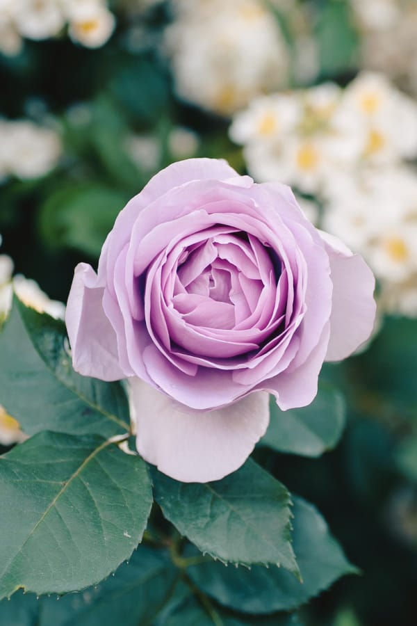roses, rose wallpaper, rose wallpaper iPhone, rose wallpaper aesthetic, rose wallpaper hd, rose aesthetic, purple rose