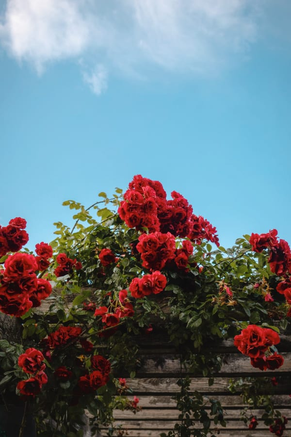 roses, rose wallpaper, rose wallpaper iPhone, rose wallpaper aesthetic, rose wallpaper hd, rose aesthetic, red roses, red rose aesthetic