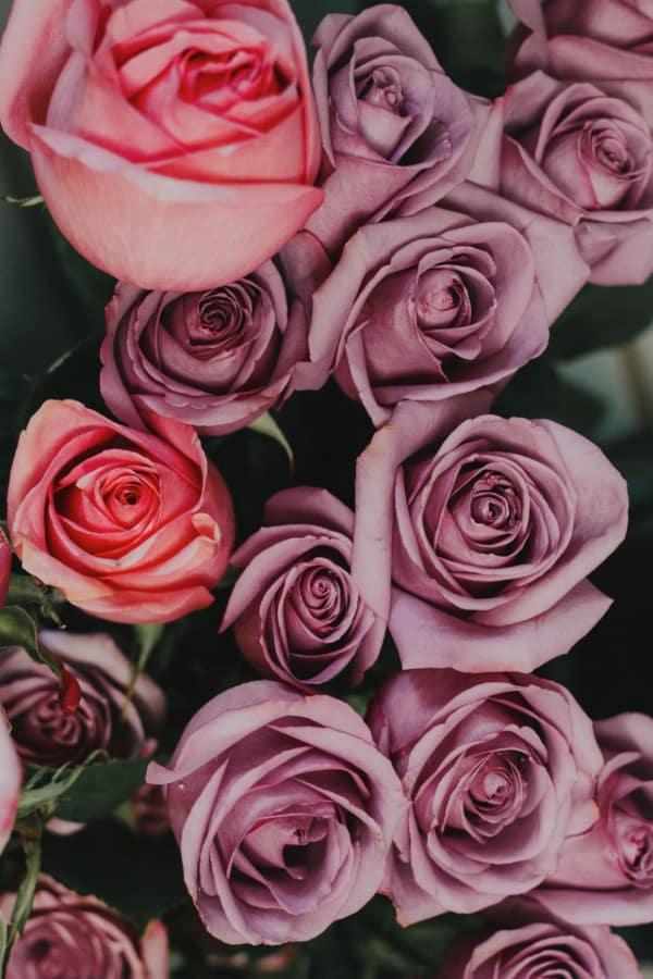 roses, rose wallpaper, rose wallpaper iPhone, rose wallpaper aesthetic, rose wallpaper hd, rose aesthetic, purple roses, pink roses