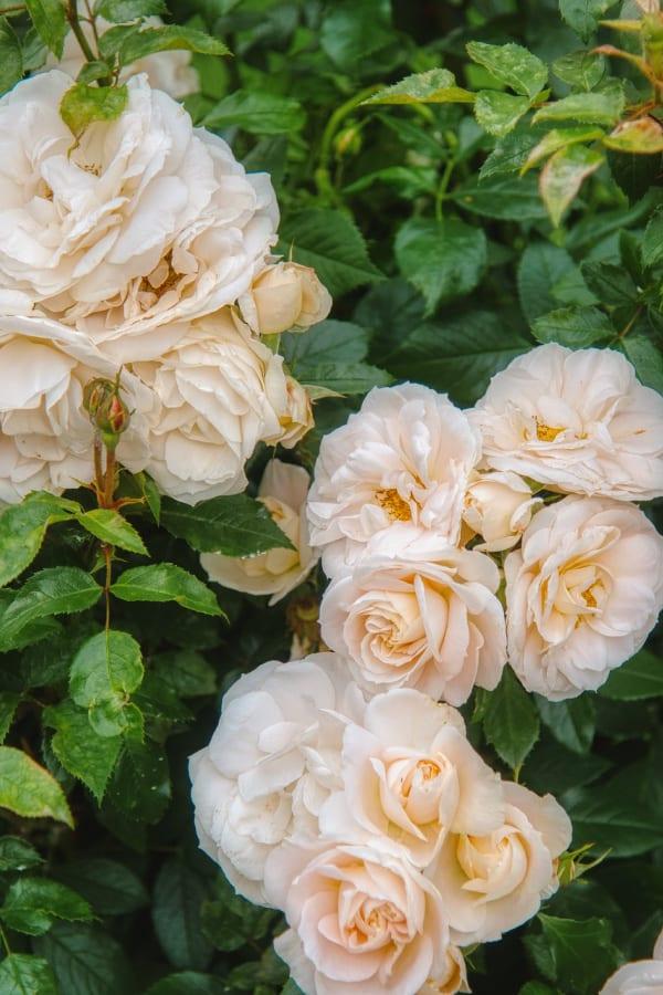 roses, rose wallpaper, rose wallpaper iPhone, rose wallpaper aesthetic, rose wallpaper hd, rose aesthetic, white roses, white rose wallpaper
