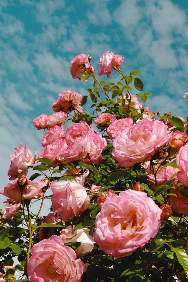 roses, rose wallpaper, rose wallpaper iPhone, rose wallpaper aesthetic, rose wallpaper hd, rose aesthetic, pink roses