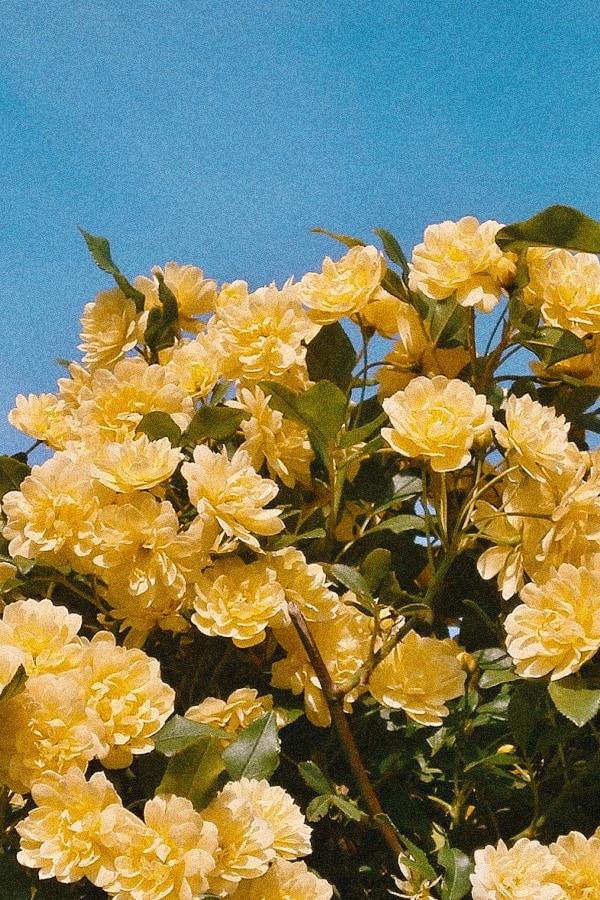 roses, rose wallpaper, rose wallpaper iPhone, rose wallpaper aesthetic, rose wallpaper hd, rose aesthetic, yellow roses, yellow rose wallpaper