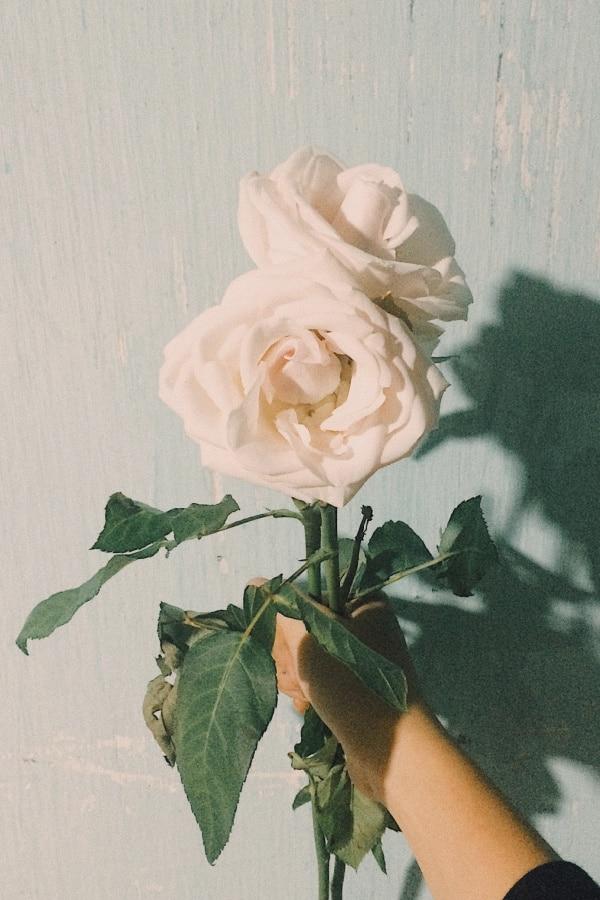 roses, rose wallpaper, rose wallpaper iPhone, rose wallpaper aesthetic, rose wallpaper hd, rose aesthetic, white roses
