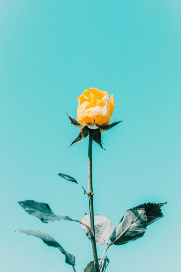 roses, rose wallpaper, rose wallpaper iPhone, rose wallpaper aesthetic, rose wallpaper hd, rose aesthetic, yellow rose, yellow rose wallpaper