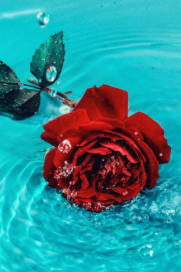 roses, rose wallpaper, rose wallpaper iPhone, rose wallpaper aesthetic, rose wallpaper hd, rose aesthetic, red rose, red rose aesthetic