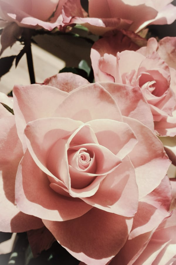 roses, rose wallpaper, rose wallpaper iPhone, rose wallpaper aesthetic, rose wallpaper hd, rose aesthetic, pink roses, pink rose wallpaper