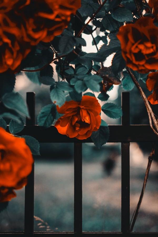 roses, rose wallpaper, rose wallpaper iPhone, rose wallpaper aesthetic, rose wallpaper hd, rose aesthetic, red roses, red roses wallpaper