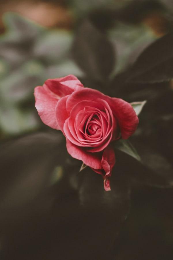 roses, rose wallpaper, rose wallpaper iPhone, rose wallpaper aesthetic, rose wallpaper hd, rose aesthetic, pink rose, pink rose wallpaper